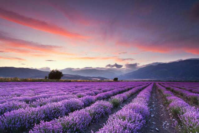 lavender-field-evgeni-dinev-photography